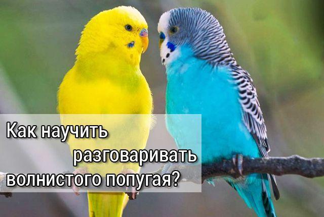 как научить разговаривать волнистого попугая решил